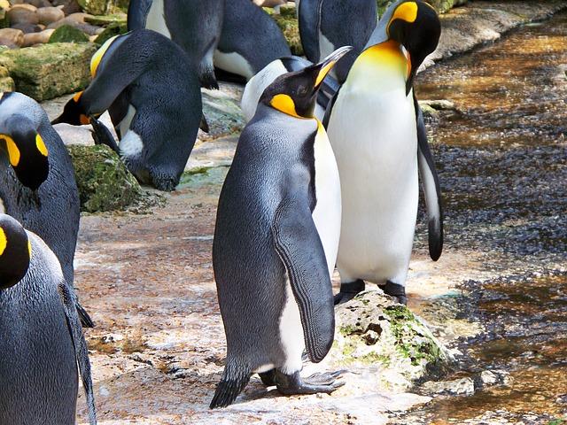 キングペンギンのヒナがでかい!日本の水族館で見れる?